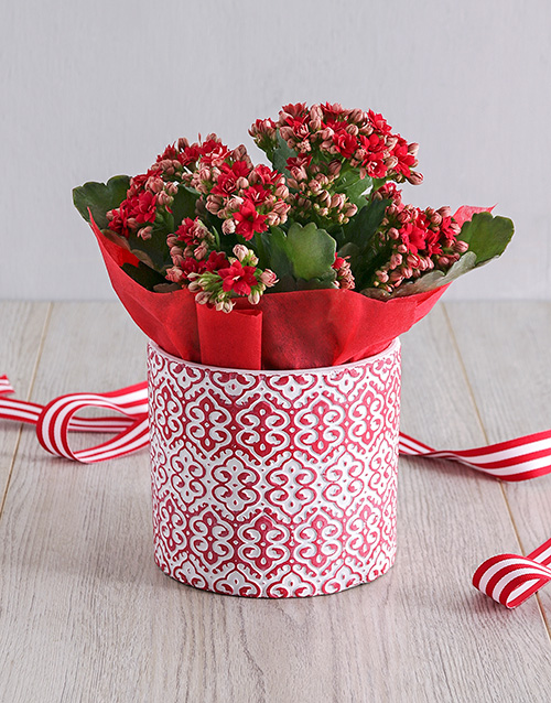 christmas: Kalanchoe Plant in Red Embossed Cement Pot!