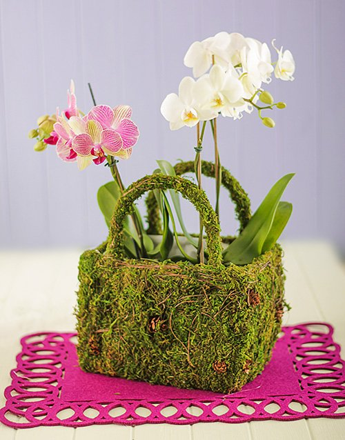 basket: Double Mini Orchids in a Moss Basket!