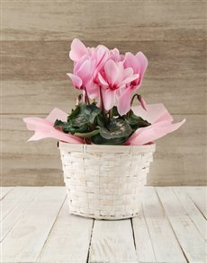 flowers: Pink Cyclamen in a Crysanth Basket!