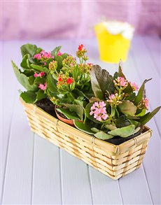 flowers: Three Kalanchoe in a Basket!