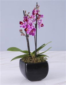 gifts: Mini Orchid in a Glazed Vase!