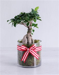 plants: Ficus Bonsai Tree in Red Ribbon Cylinder Vase!