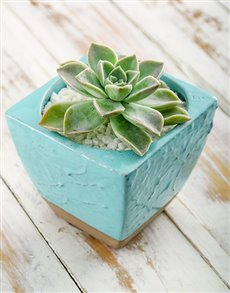 gifts: Tranquil Potted Succulent!