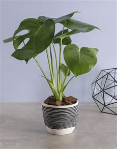gifts: Delicious Monster Plant in Cement Pot!