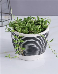 gifts: String Of Pearls In Striped Pot!