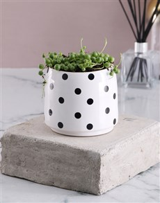 plants: String of Pearls in Polka Dotted Pot!