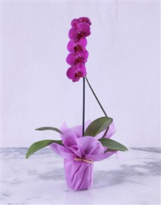 gifts: Pink Lady Orchid Plant!