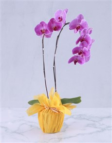 gifts: Summer Splash Orchid Plant!