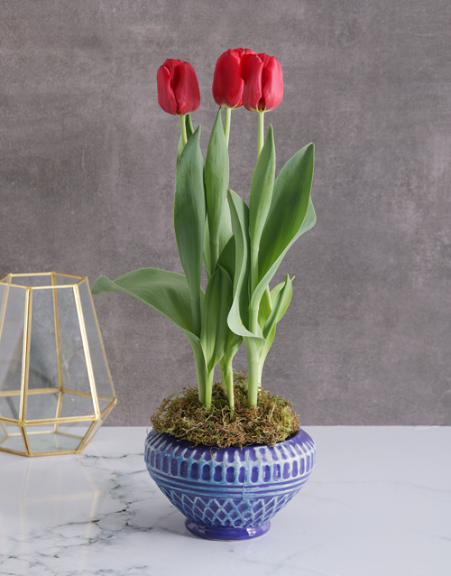 tulips: Radiantly Red Tulips In A Blue Pot!